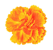 Orange Yellow Carnation Flower Isolated On White Background With Clipping Path.. Close-up.  Element Of Design.
