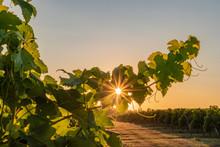 L'été Dans Le Vignoble Borde...