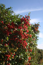 Pyracantha Hedge With A Bunch ...