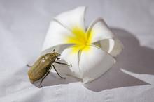 Beetle On Temple Tree Flower