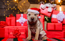 Small Cute Shar Pei Puppy. Puppy In Santa Claus Hat. Small Dog At Red Present Box. Happy New Year. Merry Christmas. Perfect Xmas Present. Best Gift Ever. Dog Year. Lovely Pet
