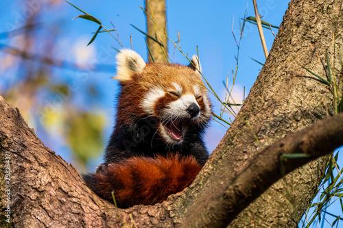The red panda, Ailurus fulgens, also called the lesser panda. Wallpaper Mural