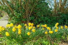 Springtime Daffodils By The Roadside