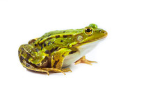 Male Green Frog On White