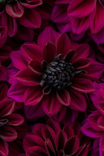 Flatlay Of Blooming Dahlia Flowers In Deep Purple Burgundy Red Colour