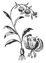 Tiger, Lily, Flower, Stem, Sca...