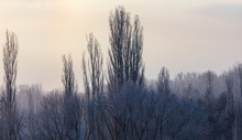 Leafless Tree Branches At Dawn...