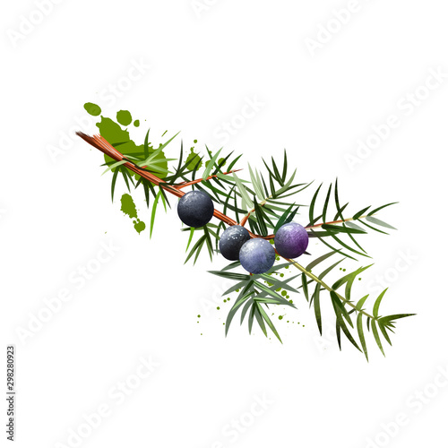 Fototapeta Branch of juniper with detail of foliage, berries and seeds. It is not true berry but a cone with unusually fleshy and merged scales. Medical plant. Herbs and spices collection. Digital art obraz