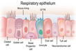 canvas print picture - Respiratory epithelium in humans showing different cell types. Biomedical illustration.