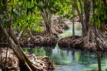 Mangrove Forest In Krabi Provi...
