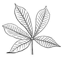 Palmate Leaf Vintage Illustrat...