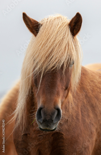 Fotomural Flock of Island ponies with flying mane on a pasture in northern Iceland