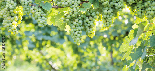 Fotografia Bunch of grapes hanging on a horizontal vine