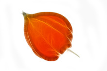 Fractal Image Of A Small Bud Of Orange Physalis On A Neutral White Background