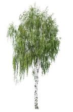 Tree European White Birch (Betula Pendula) Isolated On A White Background. Betula Pendula Tree Isolated On A White Background. Isolated Silver Birch On A White Background.
