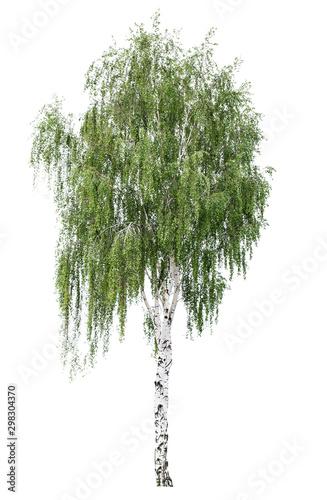 Fotografía Tree European white birch (Betula pendula) isolated on a white background