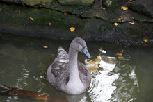 Young Gray Geese That Stay Ove...