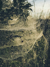 Spiderwebs On Plants