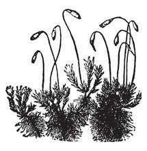 Moss Vintage Illustration.