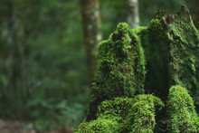 Beautiful Bright Green Moss Grown Up Cover The Rough Tree Stump Branch In The Tropical Evergreen Forest Denote Fertility. Trunk Full Of The Moss Texture In Nature For Wallpaper. Soft Focus.