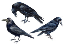 Halloween, Set Of Birds, Black Ravens On An Isolated White Background, Watercolor Illustration, Clipart