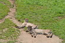 Guepard Couple Lying On The G...