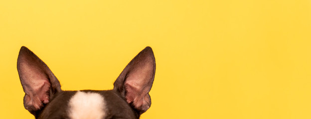 The top of the dog's head with large black ears Boston Terrier breed on a yel...