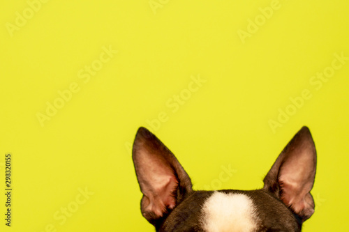 Top of the head of a dog with large black ears Breed Boston Terrier on a green background. Creative. - 298320155