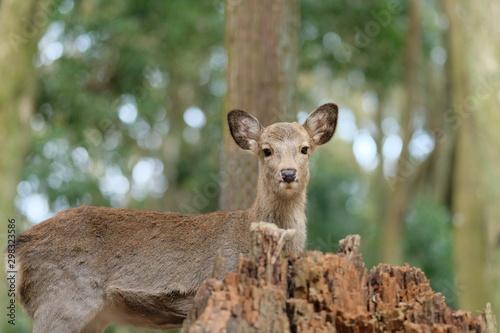 Poster Cerf deer in the wild