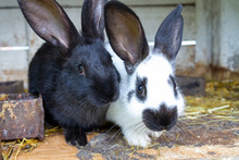 White And Black Rabbits On Hay.