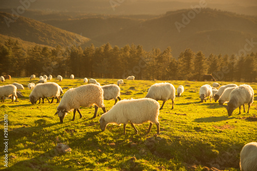 Fotomural Sheeps eating grass in the mountains in the basque country