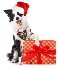 Young Border Collie Dog With Santa Hat And A Christmas Gift