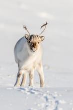 Wild Svalbard Reindeer, Rangif...