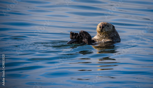 Fényképezés Sea Otter floating on its back in the cold Alaska waters of the Inside Passage