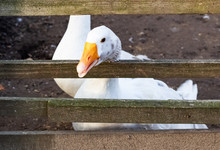 White Goose Behind A Wooden Fe...
