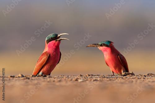 Foto Beautiful red bird - Southern Carmine Bee-eater - Merops nubicus nubicoides flyi