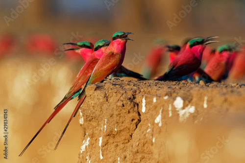 Beautiful red bird - Southern Carmine Bee-eater - Merops nubicus nubicoides flyi Canvas Print