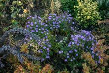 Flowerbed With Autumn Blue Bri...