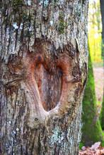 Heart Shaped Hollow, Tree Bark...