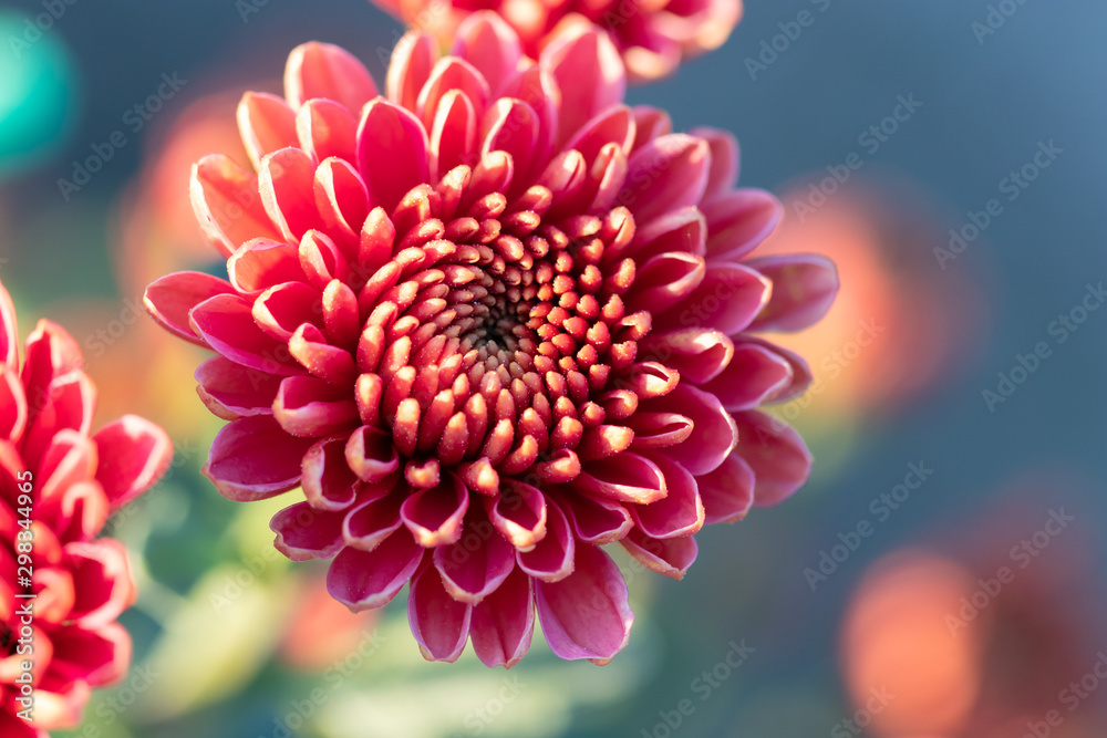 Fototapeta Pink chrysanthemums close up in autumn Sunny day. Autumn flowers.