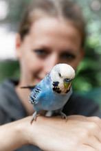 Light Blue Budgerigar On The Hand Of A Woman