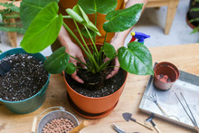 Man Repotting Green Plant (Monstera Deliciosa)