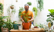 Man Repotting Green Plant (Mon...