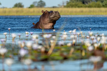 Hippopotamus In The Water With Water Lilies In The Foreground
