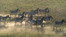 Aerial View Of A Group Of Zebr...