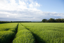 Tractor Tracks Through Farm Crop In Field In Gloucestershire Blue Sky