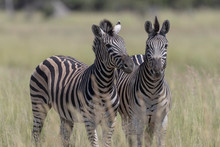 Two Zebras Under The Sun In Th...