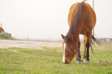Bay mare horse grazing on windy day, copy space for farm and ranch concept.