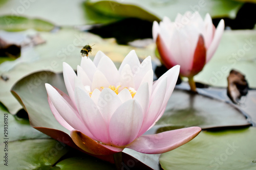 Fotomural pink water lily in pond