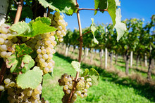 White Grapes With Leaves Growing At Vineyard In Summer